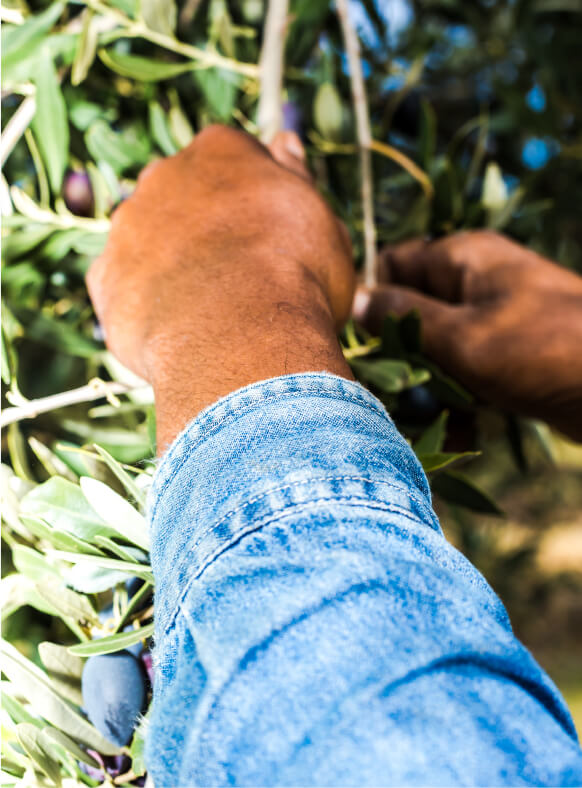 Penfield Olives olive producers slider pic, man picking olives in the olive grove.