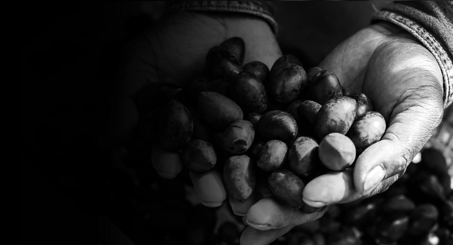 Penfield Olives olive producers slider pic, black and white image of a man holding olives in both hands.