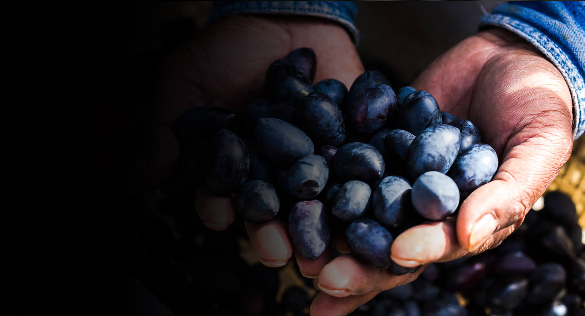 Penfield Olives olive producers slider pic, colour image of a man holding olives in both hands.