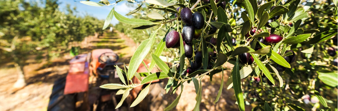 Penfield Olives olive producers slider pic, olive grove with red tractor at Penfield Olives South Australia.